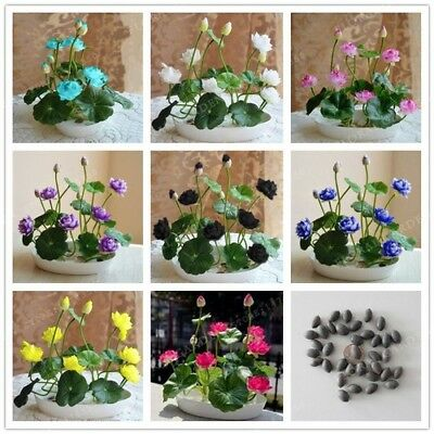 Aquatic Plants Flower Pot lotus Water Lily Seeds Bonsai Home Garden Supplies