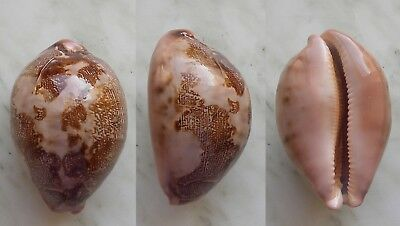 seashell   cypraea  mappa unusual pattern