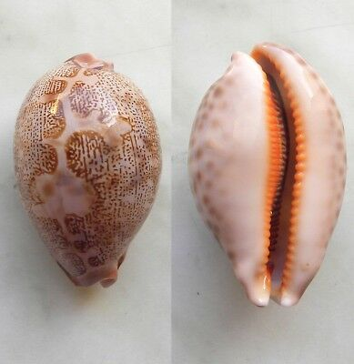 seashell   cypraea  mappa alga f.geographica dwarf selected