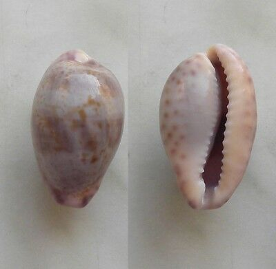 seashell   cypraea sanguinolenta good size