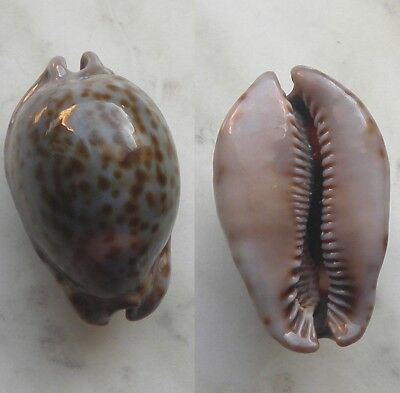 seashell   cypraea stercoraria dwarf selected