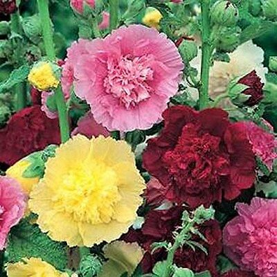 Hollyhock Carnival Mix- 50 Seeds - 50 % off sale