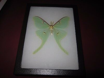 """real luna moth  butterfly mounted framed 6x8"""" riker display #axe2"""