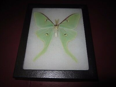 """real luna moth  butterfly mounted framed 5x6"""" riker display #axe3"""