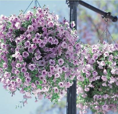 100 Seeds Home Garden Mixed Colors Petunia Hybrida Flower Seed Hanging Or Bonsai