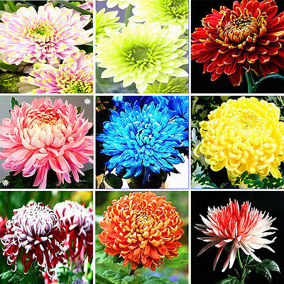 1000Pcs Colorful Chrysanthemum Seeds Rare Flower Seeds Garden Potted Plants