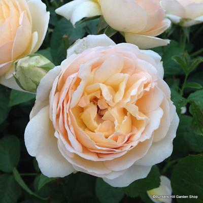 'Jude the Obscure' David Austin English shrub rose. Bare root, highly scented