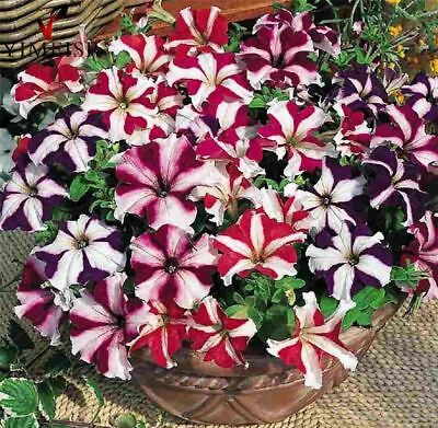 Petunia Rare Real Striped Wave Star Petunias Bonsai Flower Seed for Home Garden