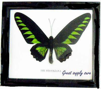 Real Giant Butterfly Black Green Brookiana Display Insect Taxidermy Wood Frame