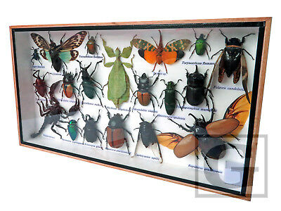 Real Butterfly Insect Bug Taxidermy Display in Framed Box Big Set Gift gpasy 23