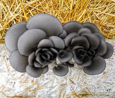 5 POUND Gray Oyster Mushroom Straw Growing Kit READY TO FRUIT Guaranteed to grow