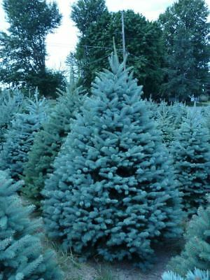 *UK SELLER* Colorado Blue Spruce Christmas Tree x10 *Rare* Special Offers