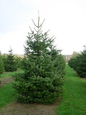 *UK SELLER* Abies Nordmanniana Christmas Tree x10 *Rare* Special Offers