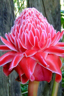 Red Torch Ginger Seed Warm Climate Edible Full Sun Upright Clump Summer Flower