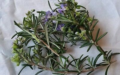SPRING HAS SPRUNG! ROSEMARY Herb culinary repel moth ORGANICx3 stems propagation
