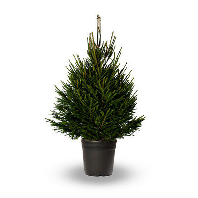 3ft Norway Spruce - Christmas Tree Pot Grown Real Live Keep In Pot Use Next Year