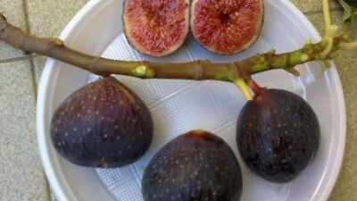 "Fig tree cuttings ""Plint Nero"" Rare Italian Variety"