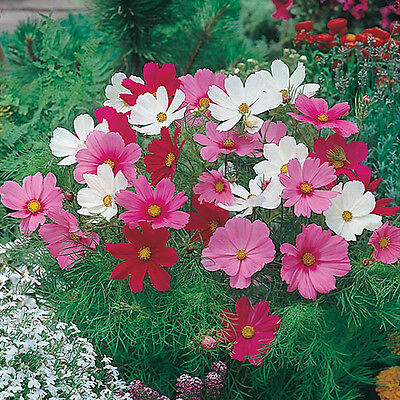 Dwarf Cosmos Flower, Great for Pot & Ground, 10 Viable seeds, UK seller
