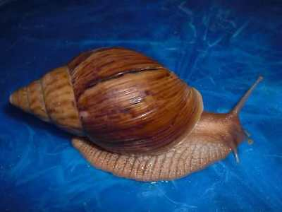2 SNAILS, Achatina Immaculata Mozambique, Alive, Giant, Perfect Pets, 5-6 cm