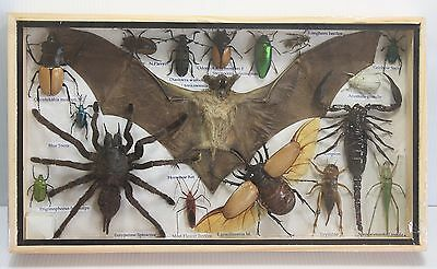 Exotic Spider Scorpion Bat Bug Insect Cicad Butterfly Taxidermy Wood Frame 2