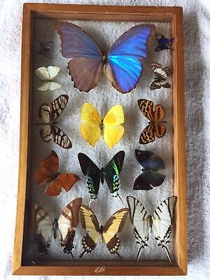 Beautiful South American Butterfly/Moth Display Blue Morpho One Of Many