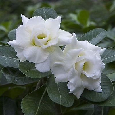 *UK SELLER* *BEAUTIFUL* Snow White Rose x10 Seeds *RARE* *SPECIAL OFFERS*