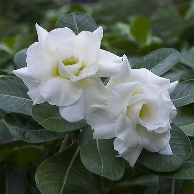 **UK SELLER** **BEAUTIFUL** Snow White Rose x5 Seeds **RARE** **SPECIAL OFFERS**