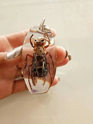 Vespa affinis Bug Big Ben Real insect in Clear Resin Taxidermy Key ring Gift