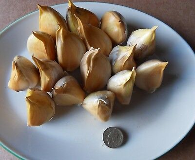 16 STANDARD (15-25grams) ELEPHANT GARLIC CLOVES FOR PLANTING OCTOBER
