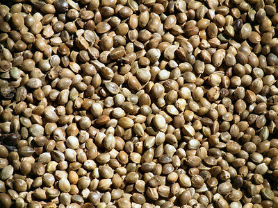 Cannabis sativa seeds tested for germination