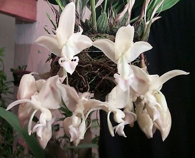 Stanhopea intermedia species orchid, Mexico