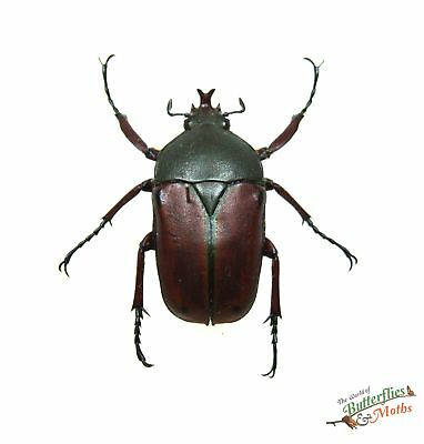 Eudicella nyassica SET x1 Tanzania Africa beetle art design real insect pinned