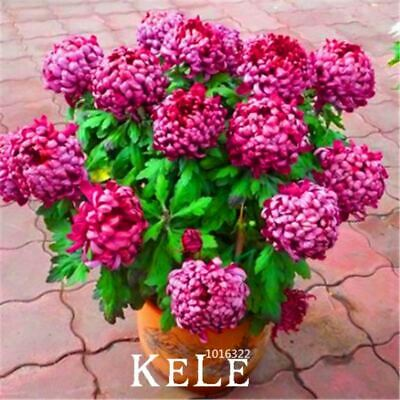 10 Pieces/lot chrysanthemum Rare Flower seeds garden potted plants softcover bon