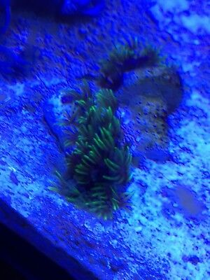 Green star polyps coral on small pegs for marine fish aquarium