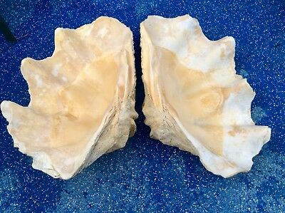 "Giant Clam Shell-Tridacna Gigas 28.5 "" W. Authentic. Will sell indiv. Or as set."