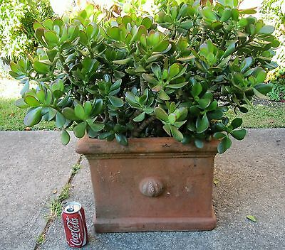 JADE in TERACOTTA POT PLANTS for garden balcony