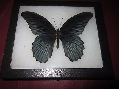 """real black papilio memnon  butterfly mounted framed 5 x 6"""" riker display #pl33"""