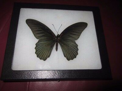 """real black papilio memnon  butterfly mounted framed 5 x 6"""" riker display #pl34"""