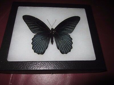 """real black papilio memnon  butterfly mounted framed 5 x 6"""" riker display #pl35"""