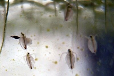 Daphnia Starter Culture Everlasting Live food Supply for Spawning & Hatching Fry