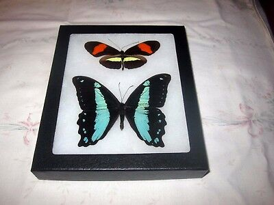 """2 real  butterflies  mounted framed 5x6"""" riker  #><2 heliconius papilio."""