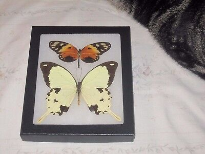 """2 real  butterflies  mounted framed 5x6"""" riker  #><6 heliconius papilio."""