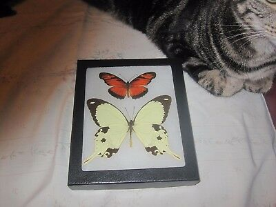 """2 real  butterflies  mounted framed 5x6"""" riker  #><8 heliconius papilio."""