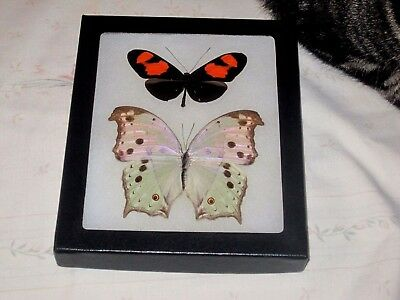 """2 real  butterflies  mounted framed 5x6"""" riker  #><24 heliconius nymphalidae."""