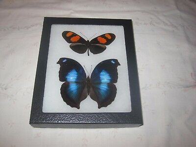 """2 real  butterflies  mounted framed 5x6"""" riker  #><25 heliconius nymphalidae."""