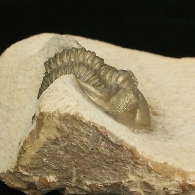Pyrite Trilobite Fossil Metacanthina Fossilised from Morocco *Premium* 45mm