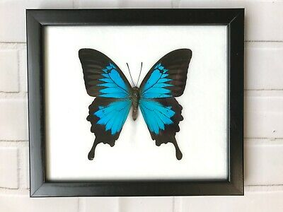 Blue Mountain Swallowtail (Papilio Ulysses) Butterfly Picture Frame Entomology