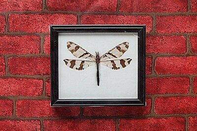 Real Giant Dragonfly Camouflaged Antlion Insect Taxidermy Home Decoration