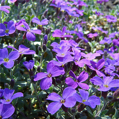 200 Romantic Purple mustard seeds garden fencedecor Purple Flower Easy to Plant
