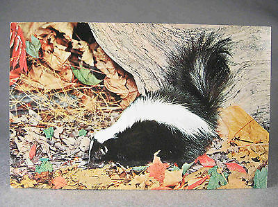 Striped Skunk photographic postcard, by Nature Press Post Cards